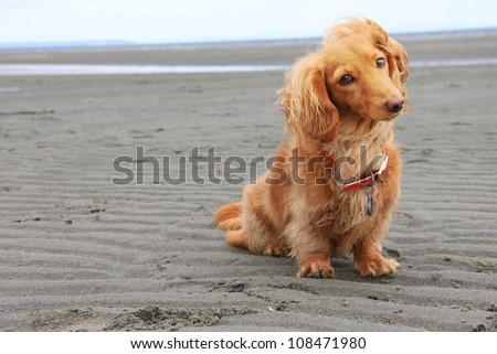 Dachshund on the beach. - stock photo