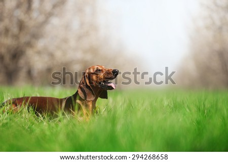 Dachshund on the field