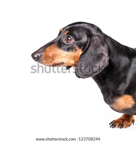 Dachshund on white background with copy space - stock photo