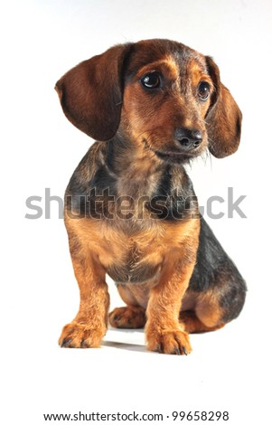 Dachshund pet dog - stock photo