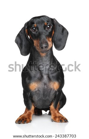 Dachshund Portrait on a white background