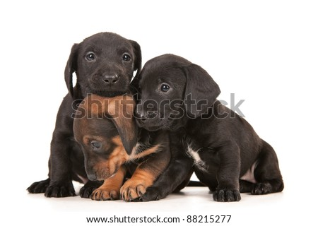 Dachshund puppies isolated on white - stock photo