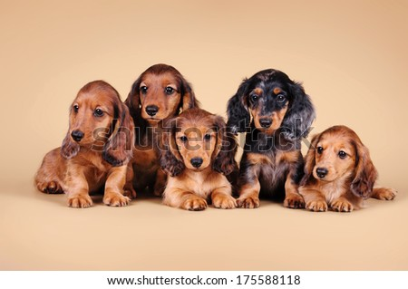 Dachshund Puppies on the sandy background - stock photo