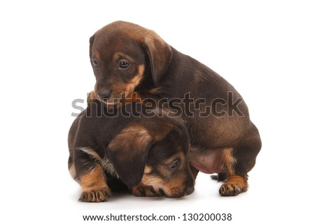 Dachshund puppies with Messy mouthes embracing - together forever, isolated on white