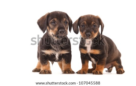 Dachshund puppies with Messy mouthes, isolated on white - stock photo