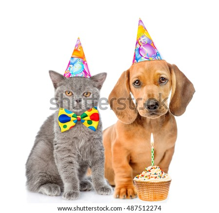 Dachshund puppy and kitten in birthday hats together with cupcake. isolated on white background