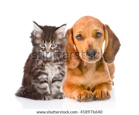 Dachshund puppy and maine coon cat sitting together. isolated on white background