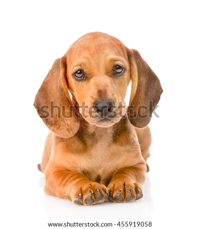Dachshund  puppy dog lying in front view. isolated on white background