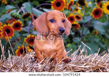 Dachshund Puppy Dog & Sunflowers:  Dachshund puppy sitting on a bail of straw with sunflowers in the background - stock photo
