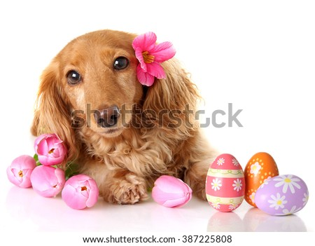 Dachshund puppy dog with spring pink tulip flowers and Easter eggs.