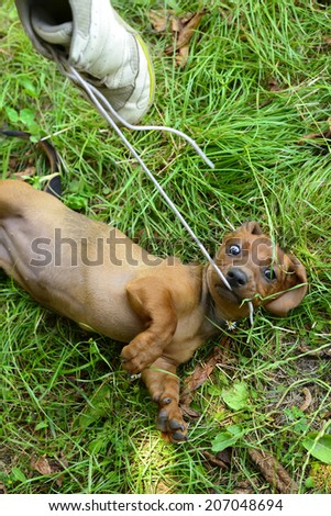 Dachshund puppy don't let go of shoelace while playing on grass - stock photo