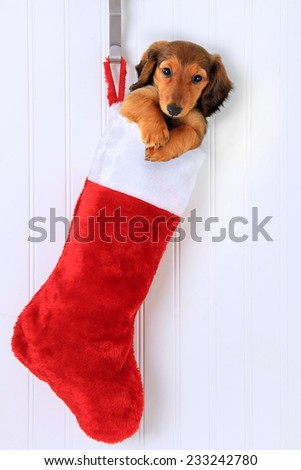 Dachshund puppy in a Christmas stocking. - stock photo