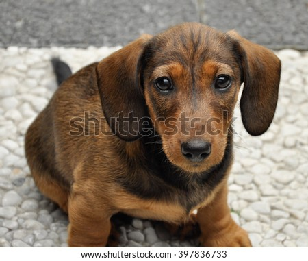 dachshund puppy stock images royalty free images vectors shutterstock. Black Bedroom Furniture Sets. Home Design Ideas