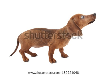 Dachshund puppy isolated on white background - stock photo