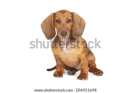 dachshund puppy isolated over white background - stock photo