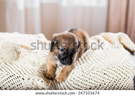 Dachshund puppy lying on the sofa - stock photo