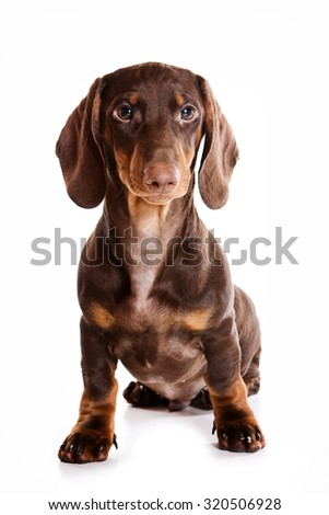 Dachshund Puppy sitting and looking at the camera (isolated on white)
