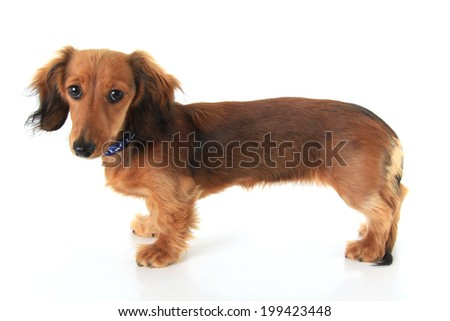 Dachshund puppy standing, isolated on white.