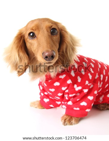 Dachshund puppy wearing a valentines outfit. - stock photo