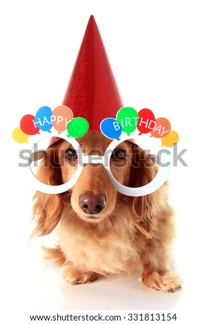 Dachshund puppy wearing Happy Birthday eye glasses and a party hat.