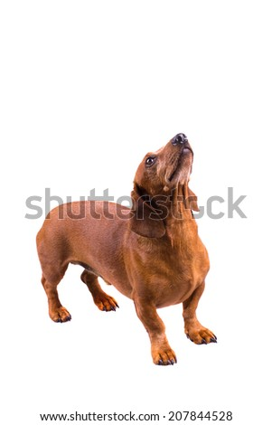 Dachshund / Sausage Dog, Isolated On White, Looking Up, Standing