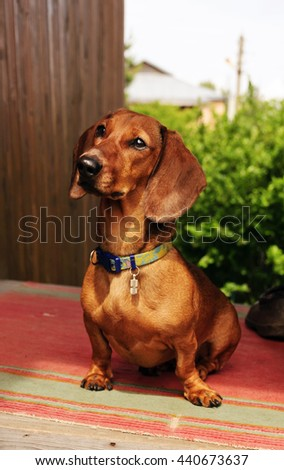 Dachshund sits on the doorstep of a country house