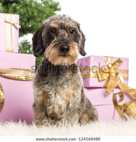 Dachshund sitting in front of Christmas decorations against white background