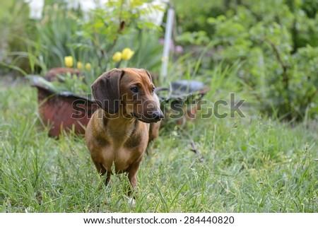 Dachshund standing on grass - stock photo