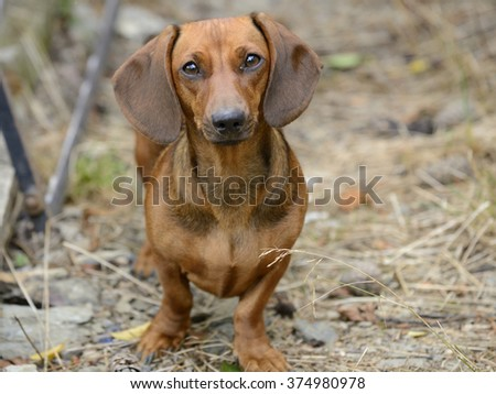 Dachshund standing on lawn and looking at camera - stock photo
