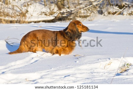 Dachshund standing on snowy meadow.