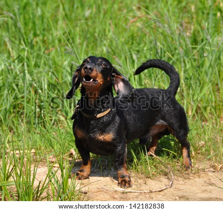 Dachshund stands on a green background on the grass. Color fees - tan. The dog barks. - stock photo