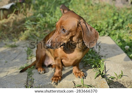 Dachshund suddenly looks to the left while sitting on the ground - stock photo