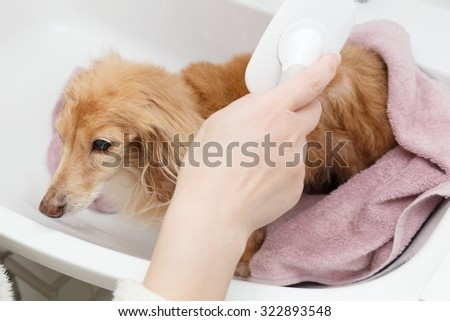 Dachshund to be brushed - stock photo