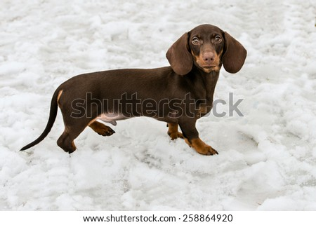 Dachshund walks in the snow in the park.