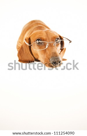 Dachshund with glasses on - stock photo