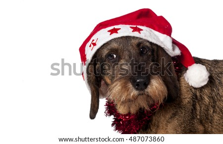 dachshund with santa hat