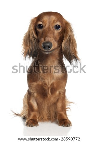 Dachshund (1 year old) in front of a white background - stock photo