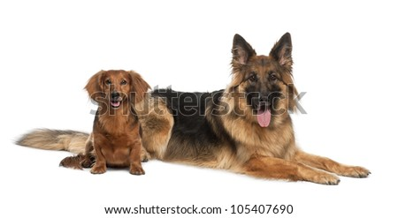 Dachshund, 9 years old, German Shepherd Dog, 3 years old, sitting against white background