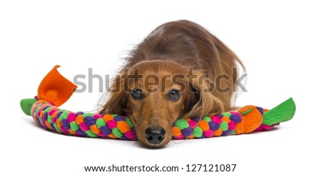 Dachshund, 4 years old, lying on dog toy against white background