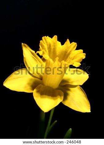 daffodil - stock photo