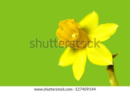 daffodil blooming - stock photo