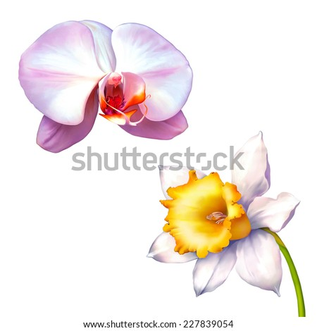 Daffodil flower or narcissus isolated on white background, White orchid  - stock photo