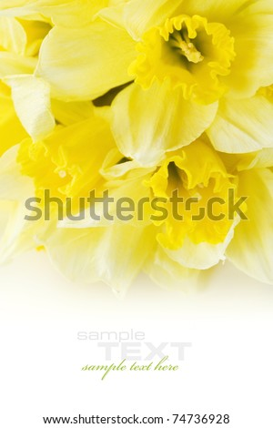 daffodil isolated on white background with sample text - stock photo