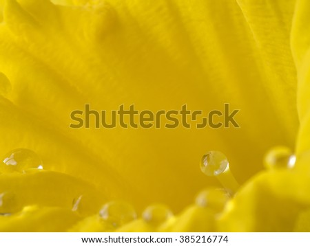 Daffodil Narcissus is a genus of mainly hardy, mostly spring-flowering, bulbous perennials in the Amaryllis family, subfamily Amaryllidoideae - stock photo