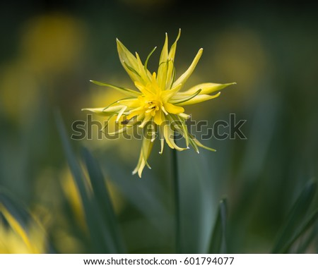 Daffodil Narcissus Rip van winkle flowering. Yellow flower of spring perennial plant in the Amaryllidaceae (amaryllis) family, in Bath Botanical Gardens, UK