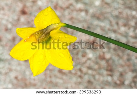 Daffodil petals covered in water drops - stock photo
