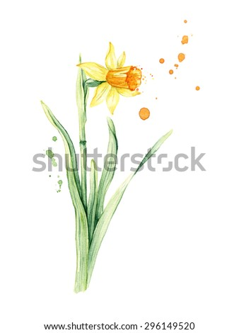 Daffodil spring flower or Narcissus, watercolor illustration - stock photo