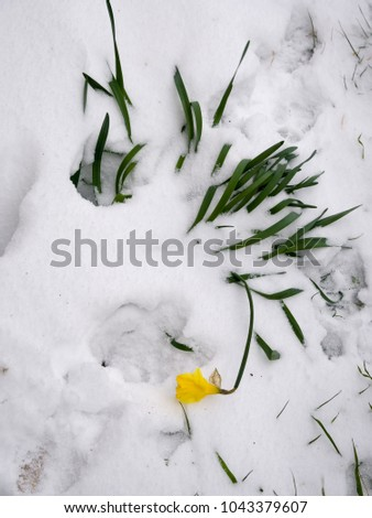 Daffodil squashed by heavy snow. Seasonal weather, climate. March 2018.