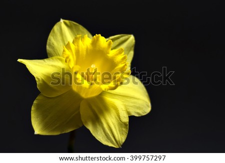 daffodil yellow flower on a black background