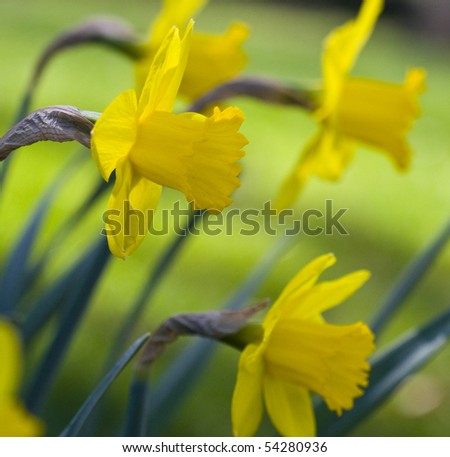 daffodils - stock photo